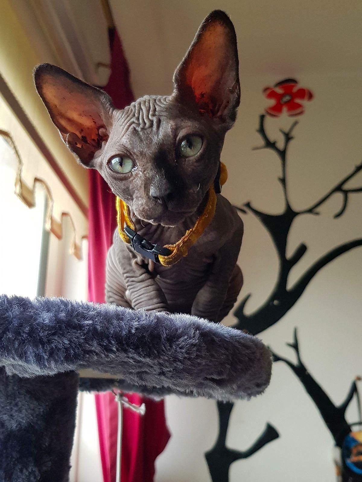 Fanciful Beautiful Cats Breeds Devon Rex