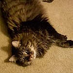 Cat, Small To Medium-sized Cats, Felidae, Domestic Long-haired Cat, Whiskers, Carnivore, Norwegian Forest Cat, Kitten, Furry friends, Tail, Maine Coon, European Shorthair, Domestic Short-haired Cat, British Semi-longhair, Paw, Polydactyl Cat